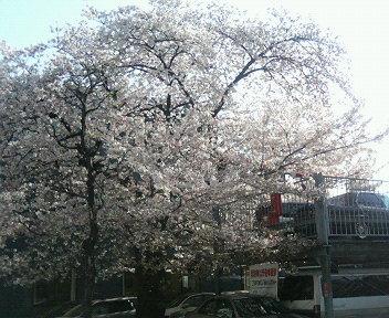 畤しい桜.jpg